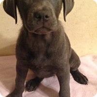 Adopt A Pet :: Prada - Boston, MA