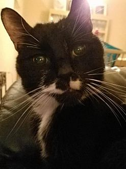 Domestic Shorthair Cat for adoption in Trenton, New Jersey - Blackie