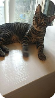 Domestic Shorthair Kitten for adoption in Media, Pennsylvania - Willy Winky (New Year Special)