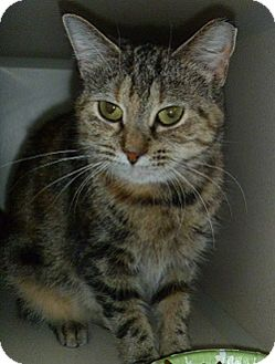 Domestic Shorthair Cat for adoption in Hamburg, New York - Nala