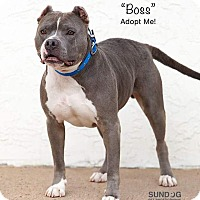 American Pit Bull Terrier Mix Dog for adoption in Wichita, Kansas - Boss