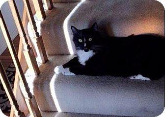Domestic Shorthair Cat for adoption in Valley Park, Missouri - Jeffrey