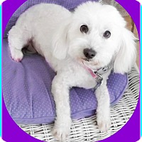 Maltese/Poodle (Miniature) Mix Dog for adoption in Seattle, Washington - PEARL
