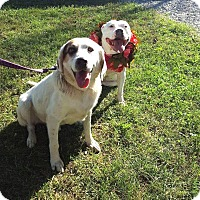 Spaniel (Unknown Type)/Setter (Unknown Type) Mix Dog for adoption in Noblesville, Indiana - Spot