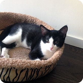 Domestic Shorthair Kitten for adoption in Mississauga, Ontario, Ontario - Marilla