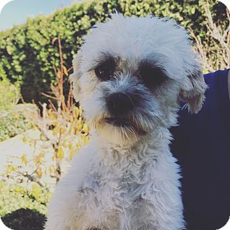 Shih Tzu Mix Dog for adoption in Thousand Oaks, California - Delilah