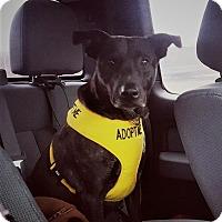 Boxer/Labrador Retriever Mix Dog for adoption in Glastonbury, Connecticut - Baby Bird~adopted!