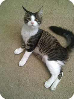 Maine Coon Cat for adoption in San Ramon, California - Cooper