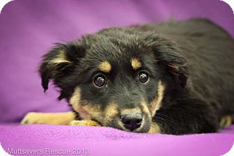 Shepherd (Unknown Type)/Terrier (Unknown Type, Medium) Mix Puppy for adoption in Broomfield, Colorado - Pancakes