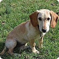 Adopt A Pet :: *Sandy - PENDING - Westport, CT