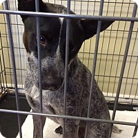 Adopt A Pet :: Blue - Natchitoches, LA