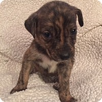 Adopt A Pet :: Sparkle - Lewisville, IN