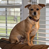 Adopt A Pet :: Amber - Barrington, IL