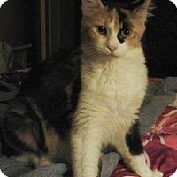 Adopt A Pet :: Serafina - Springdale, AR