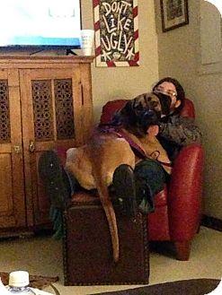Great Dane Dog for adoption in Mandeville, Louisiana - Kahuna