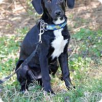 Adopt A Pet :: Destinee - New Oxford, PA