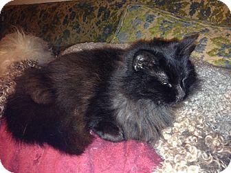 Domestic Longhair Cat for adoption in Santa Rosa, California - Evelyn