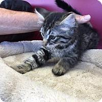 Adopt A Pet :: Sassy - Walnut Creek, CA