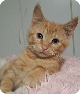Domestic Shorthair Kitten for adoption in Red Bluff, California - George