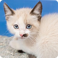 Adopt A Pet :: Rogue - Fountain Hills, AZ