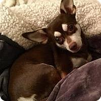 Adopt A Pet :: Brownie - Phoenix, AZ