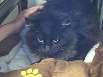 Domestic Longhair Cat for adoption in Libby, Montana - Baby Girl