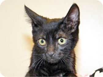 Domestic Shorthair Kitten for adoption in Wildomar, California - Albert