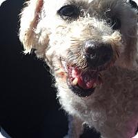 Adopt A Pet :: Lulu - Long Beach, CA