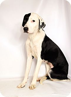 Labrador Retriever/Australian Cattle Dog Mix Dog for adoption in St. Louis, Missouri - Betty Labshep