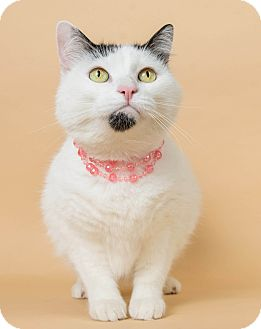 Domestic Shorthair Cat for adoption in Wyandotte, Michigan - Panda
