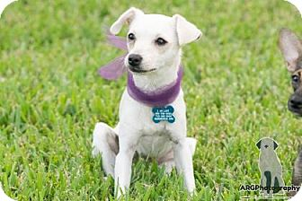Chihuahua/Terrier (Unknown Type, Small) Mix Dog for adoption in Santa Fe, Texas - Pear