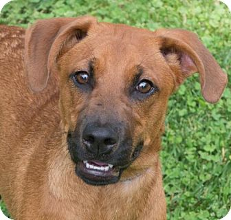 Boxer/Hound (Unknown Type) Mix Dog for adoption in Versailles, Kentucky - Sophie