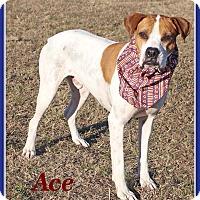 Boxer/Pointer Mix Dog for adoption in Hillsboro, Texas - Ace
