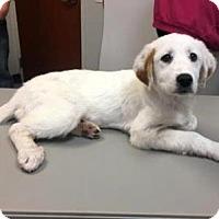 Adopt A Pet :: Freya - Show Low, AZ