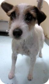 Jack Russell Terrier Dog for adoption in Houston, Texas - Ivy in Houston