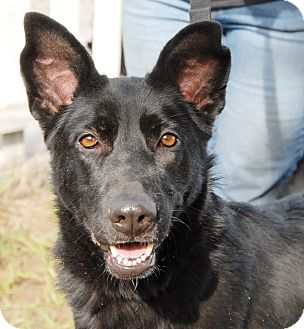 Belgian Malinois Dog for adoption in Sun Valley, California - Toni/Bella