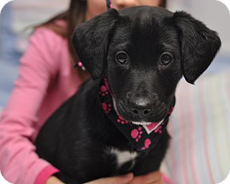 Labrador Retriever/Border Collie Mix Puppy for adoption in Sparta, New Jersey - Felicia