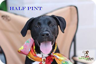 Labrador Retriever Mix Puppy for adoption in Alpharetta, Georgia - Half Pint