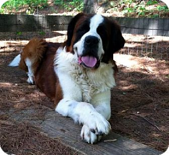 St. Bernard Dog for adoption in Lutherville, Maryland - Simon