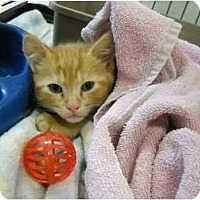 Adopt A Pet :: Polydactyl Kitten!! - Washington Terrace, UT