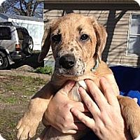 Adopt A Pet :: Sasha - PENDING - kennebunkport, ME