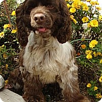 Adopt A Pet :: Buster Brown - Sugarland, TX
