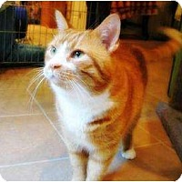 Adopt A Pet :: Soda L'Orange - Columbia, MD