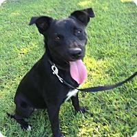 Adopt A Pet :: Junior Adoption pending - Manchester, CT