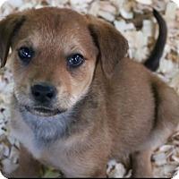 Adopt A Pet :: Josephine Pup (Susan) - Homestead, FL