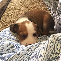 Adopt A Pet :: Tommen - Memphis, TN