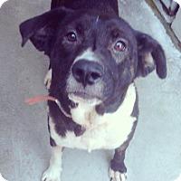 Adopt A Pet :: Mandy - Pompton lakes, NJ