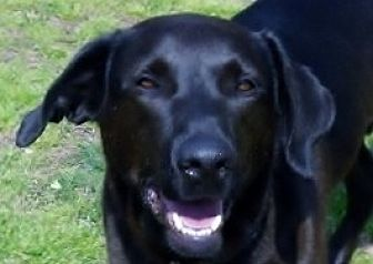 Labrador Retriever Mix Dog for adoption in Oakland, Arkansas - Curly