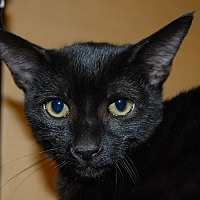 Adopt A Pet :: Sheba - Whittier, CA