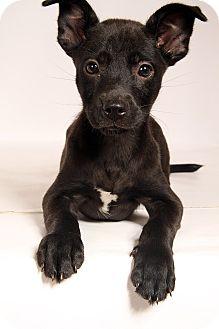 Shepherd (Unknown Type)/Labrador Retriever Mix Puppy for adoption in St. Louis, Missouri - Morris Shep Lab